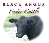 Feeder Cattle